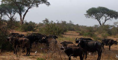 Buffalos bujuku ecotours