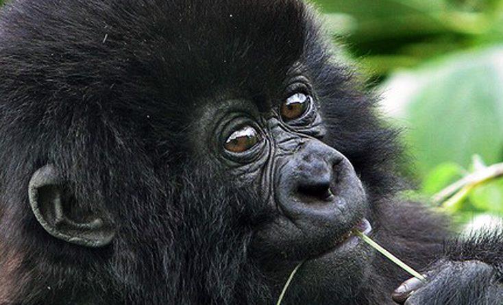 10 days uganda rwanda combined safari