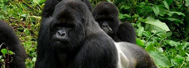 rwanda gorilla tracking safari