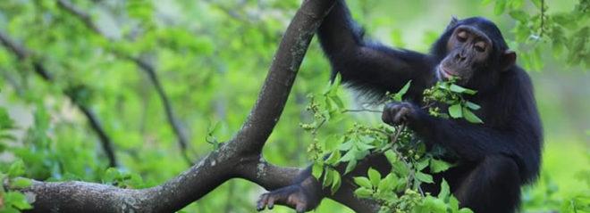 kibale national park, chimpanzee tracking in kibale national park