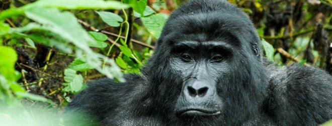mountain gorilla bujuku ecotours