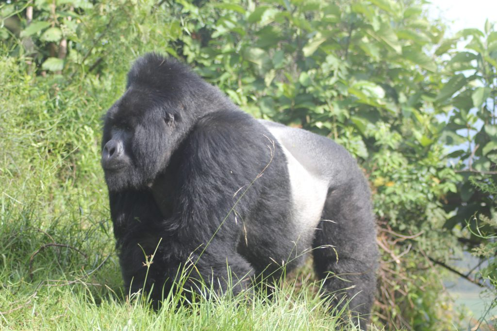 Giant silver back in virunga