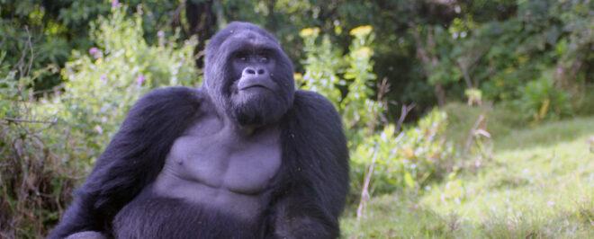 Congo Gorilla Trekking safari