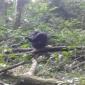 chimpanzee grooming, kibale national park